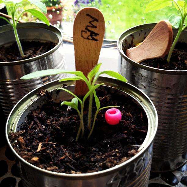 Amy's @seedpantry Outdoor Girl Tomato seedlings