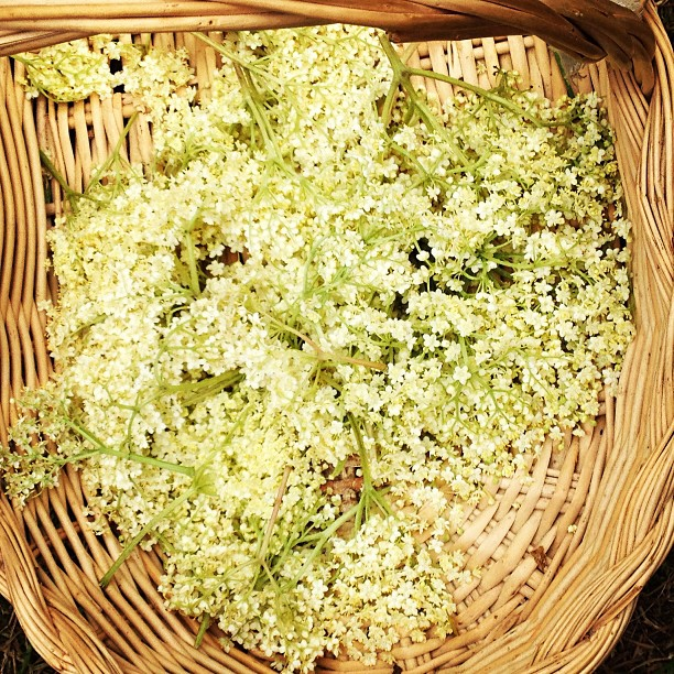 There is an abundance of Elderflower here at @kentwellhall