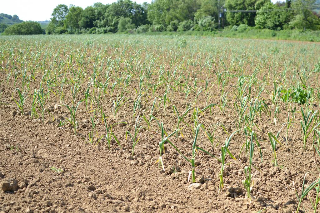 garlic, planted garlic