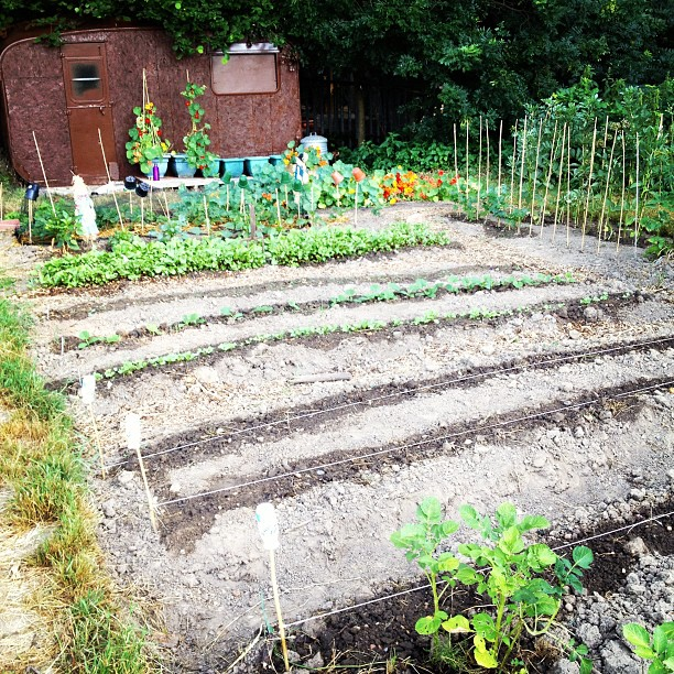 Allotment looking very neat and tidy this morning :-)