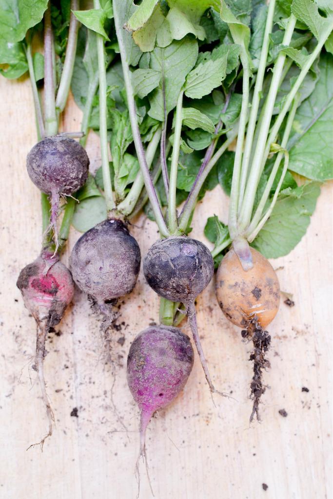 radish crop