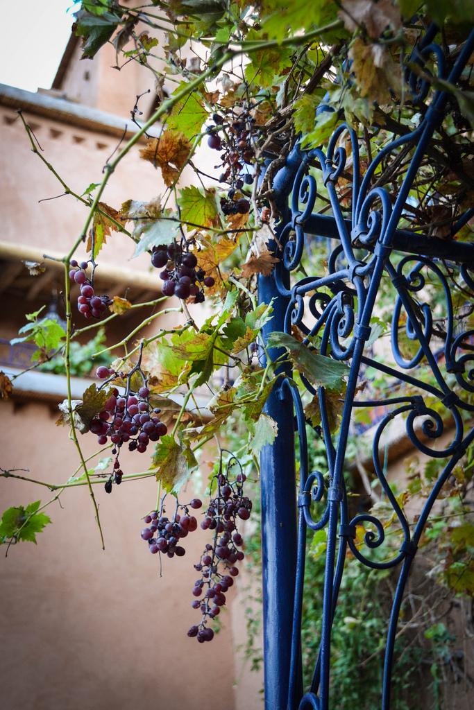 Grapes at Dar Daif.jpg