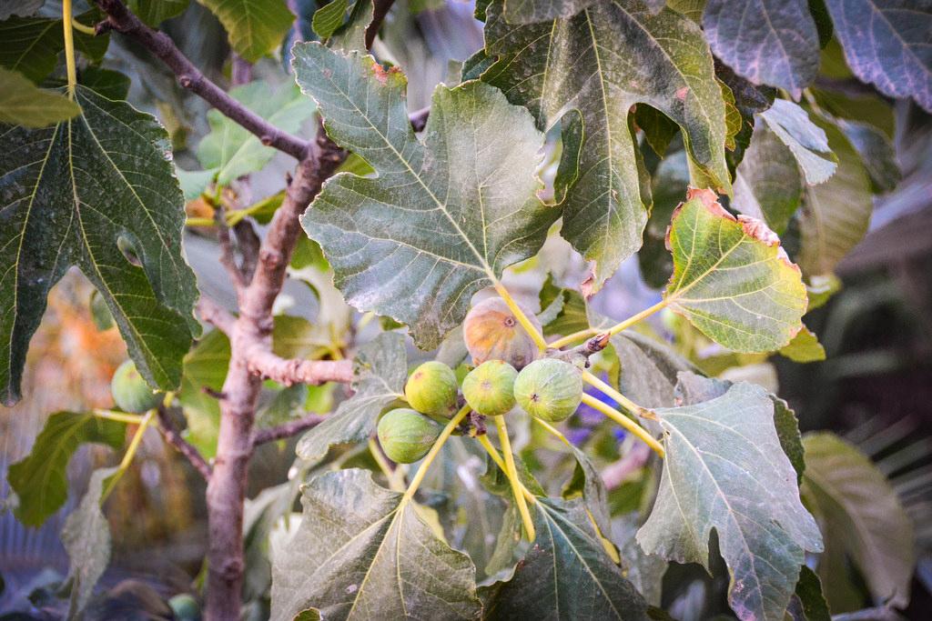 Figs at Dar Daif.jpg