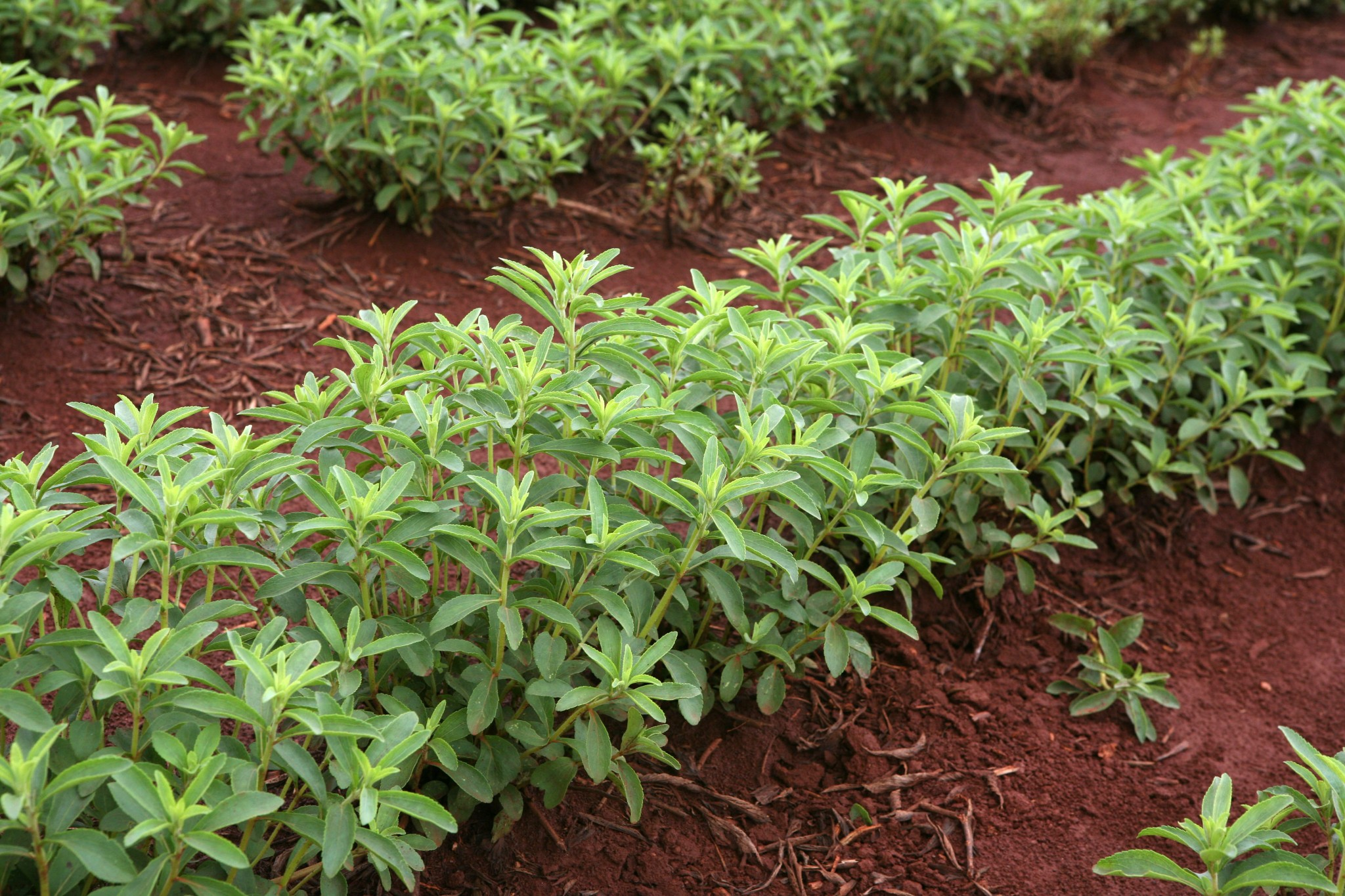 Stevia plants. Image courtesy of Natvia