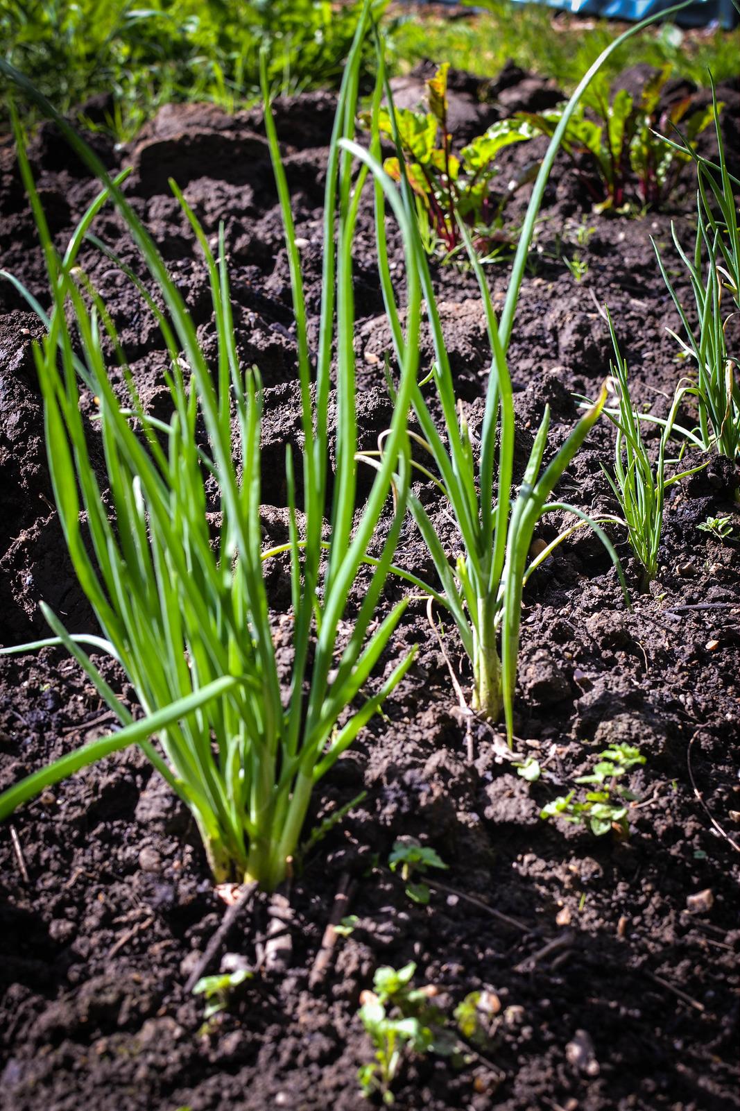 garlic, allotment, shallots, gardening