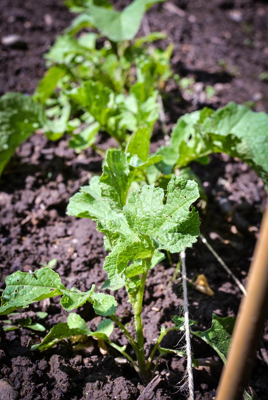 allotment, gardening, radish