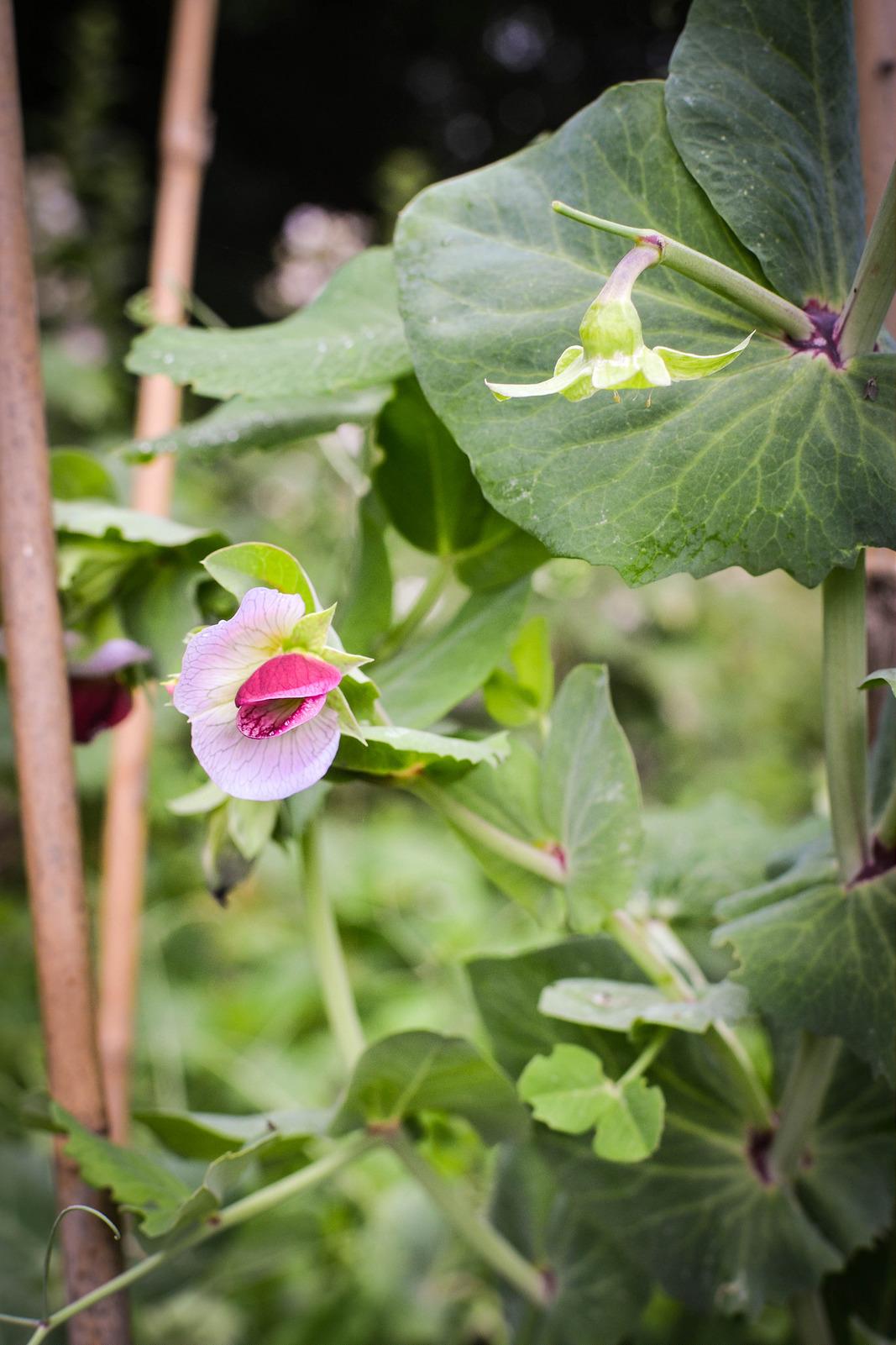 Purple mange tout flower, Shiraz variety Thompson and Morgan