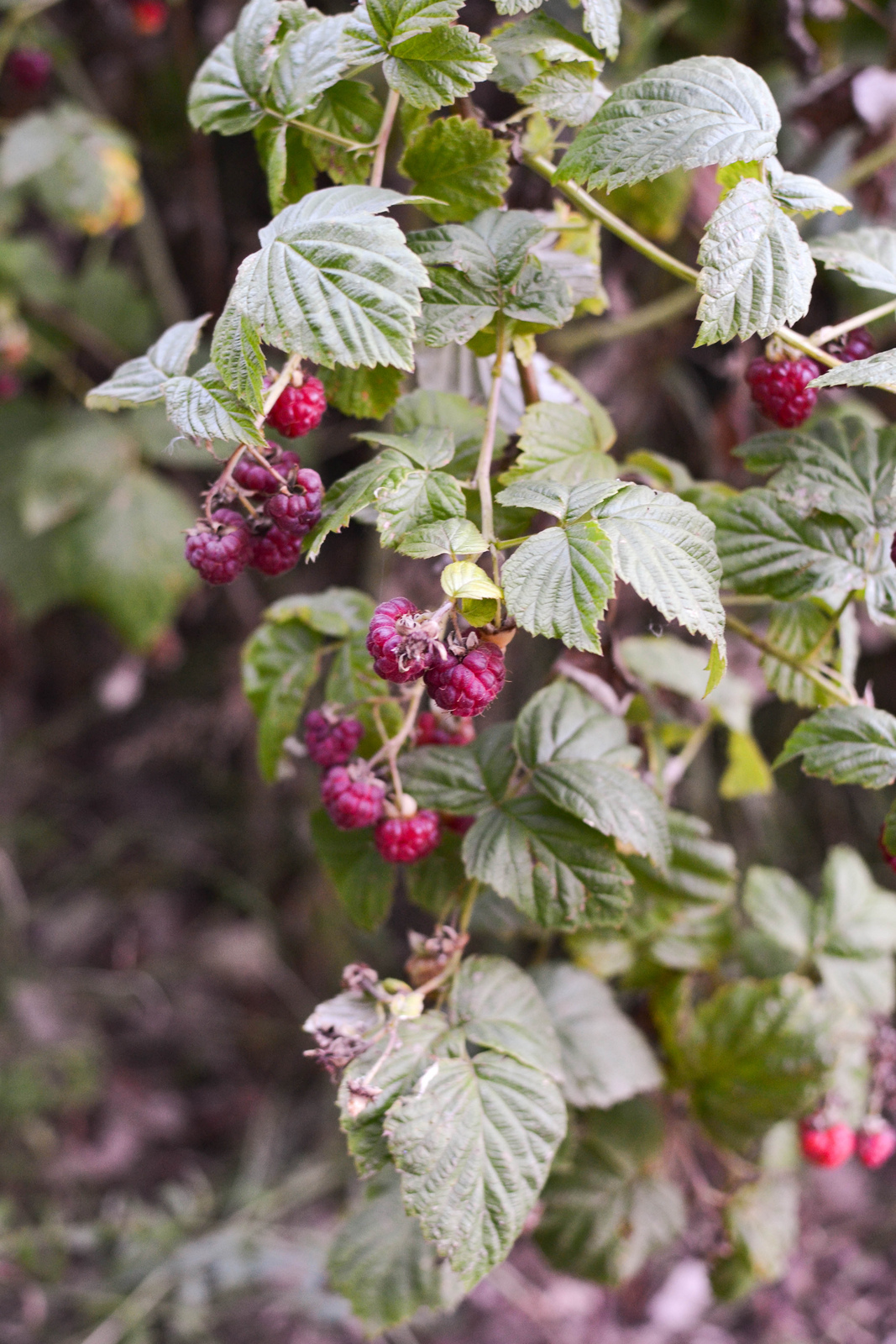 allotment raspberries