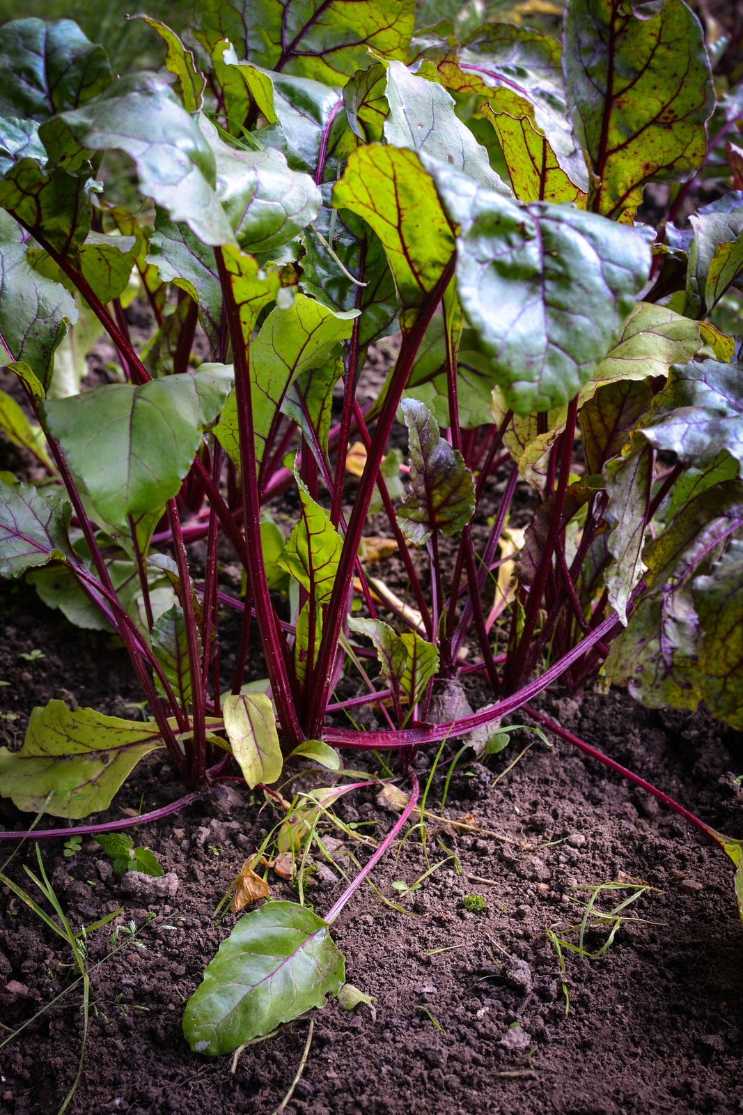 Beetroot happy at the allotment