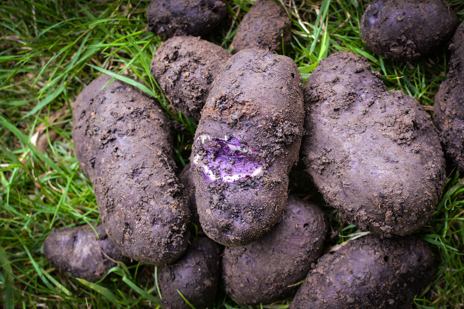 Purple majesty potatoes at the allotment