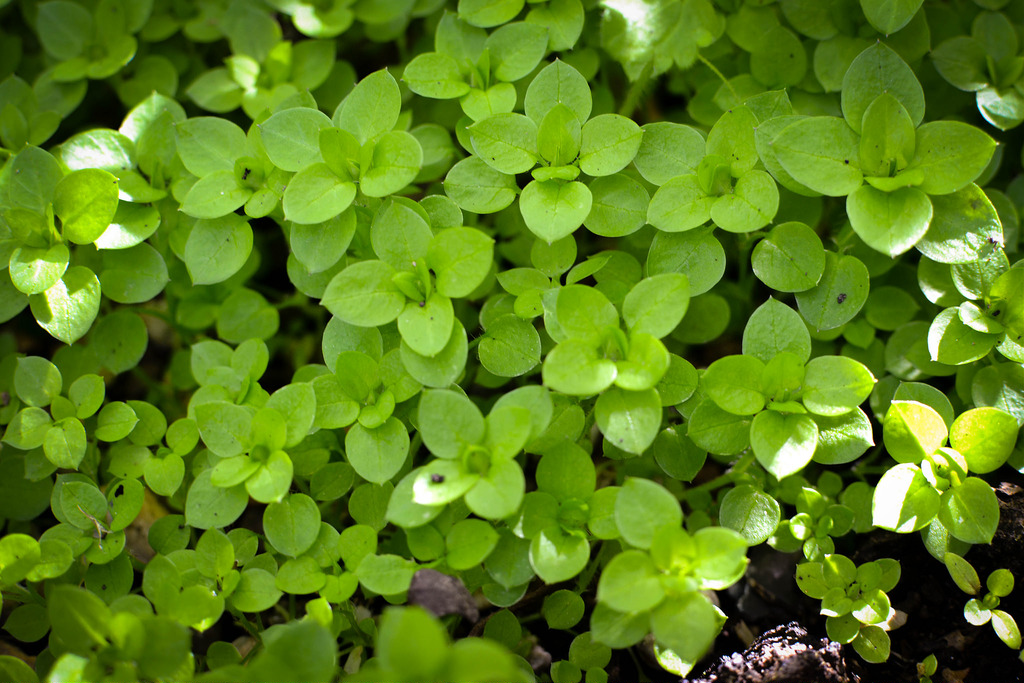 Foraging , chickweed