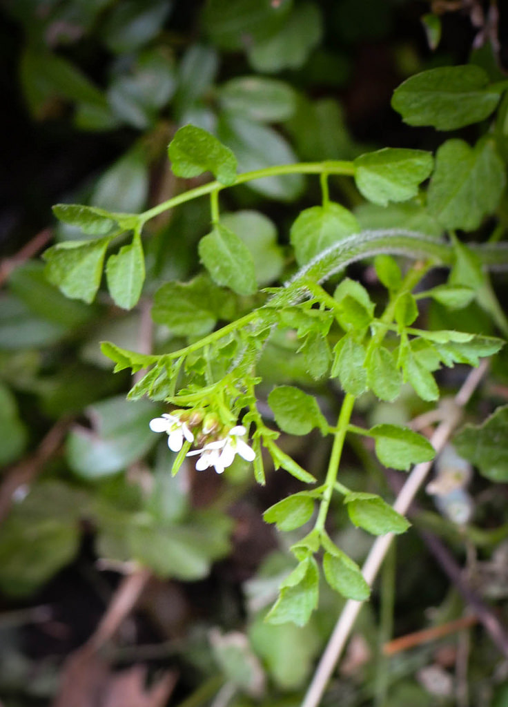 Foraging , bittercress
