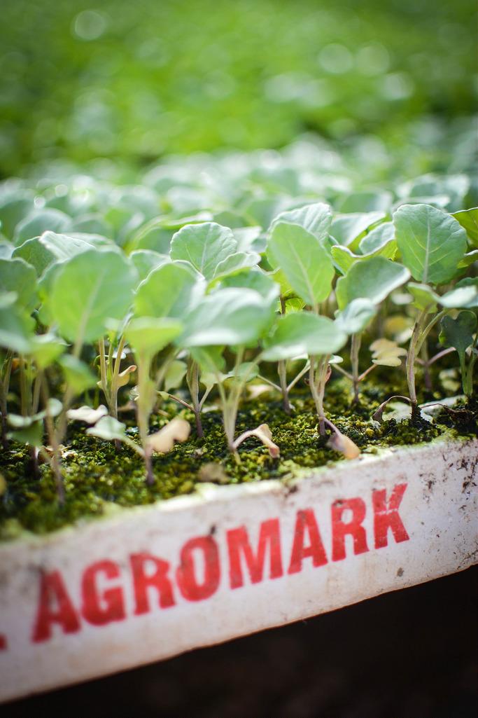 Broccoli in Agromark, Almeria