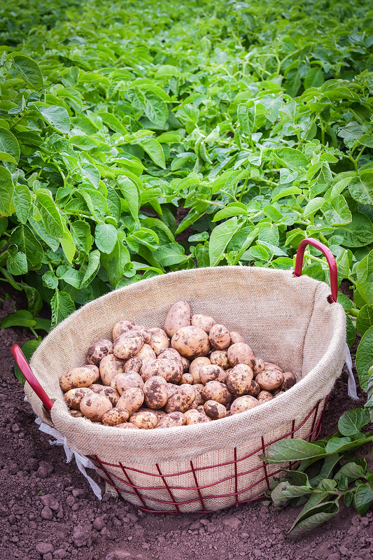 pembrokeshire early potatoes just picked