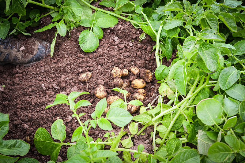 pembrokeshire early potatoes just perfect under the soil